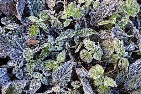 Frost på växter