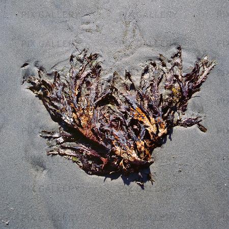Torkad tång på strand
