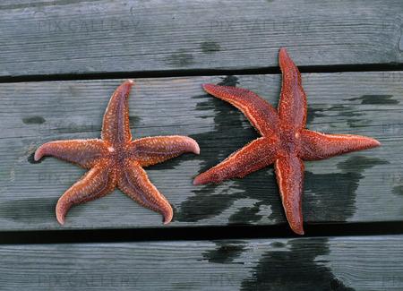 Sjöstjärnor
