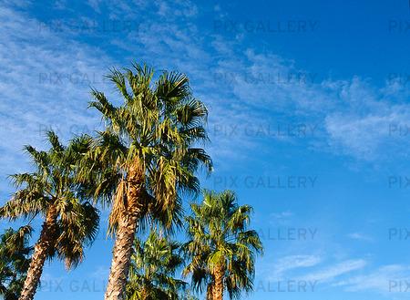 Palmer mot blå himmel