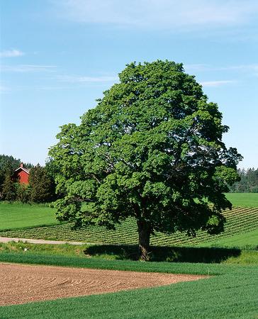 Träd i jordbrukslandskap