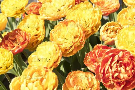 Tulpan Tulipa Double beauty apeldorn