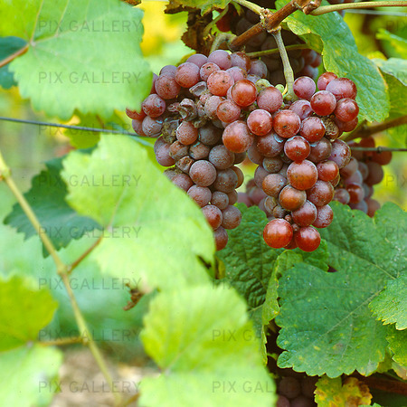 Vindruvor, Frankrike