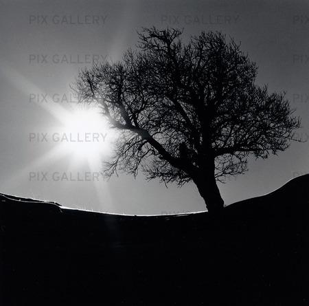 Träd i motljus