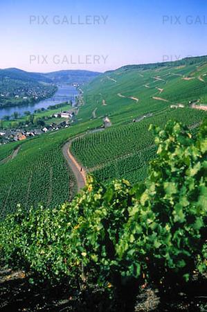 Vinodling i Moseldalen, Tyskland