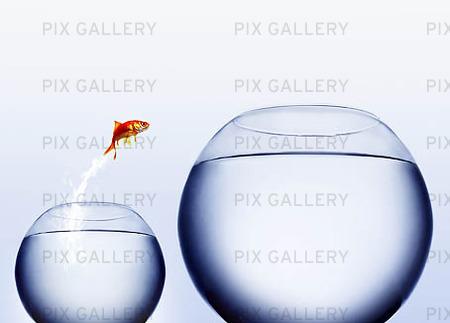 Guldfisk som hoppar till större akvariu