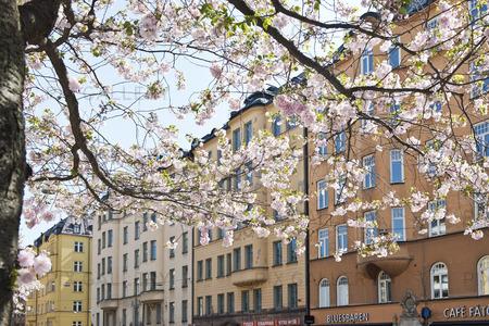 Körbärsträd, Hornsgatan, Stockholm