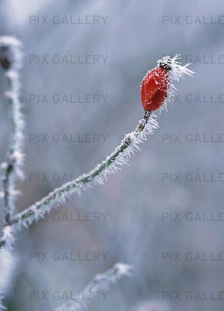 Frost på nypon