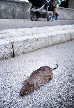 Död råtta