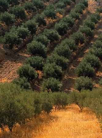 Olivodling, Grekland