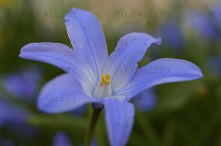 Vårstjärna ( Chionodoxa forbesii )