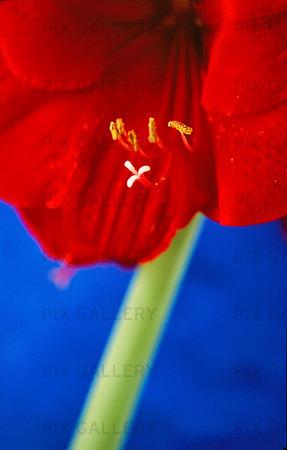 Blomma med ståndare och pistill