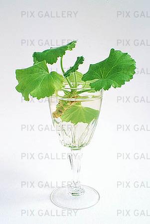Pelargonskott i glas
