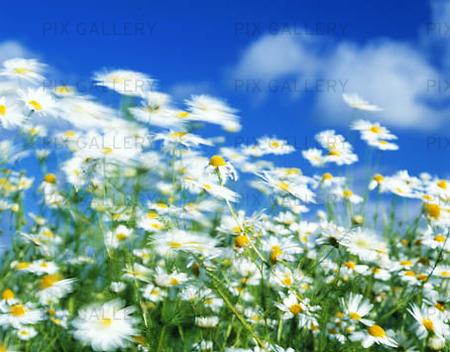 Sommarvind över blomsteräng