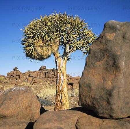 Pilkogerträd, Namibia