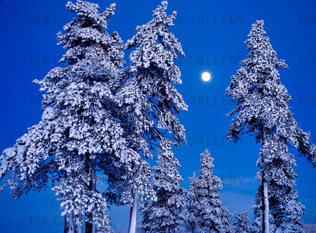 Måne vid trätoppar