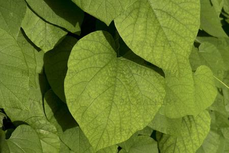 Pipranka, aristolochia macrophylla