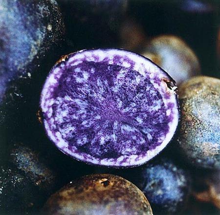 Potatis, blå kongo