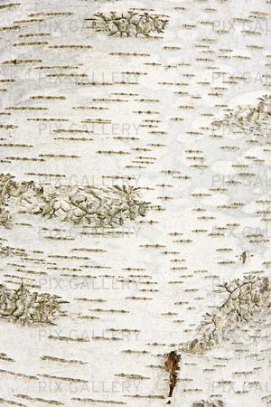 Textur av björk, bakgrund