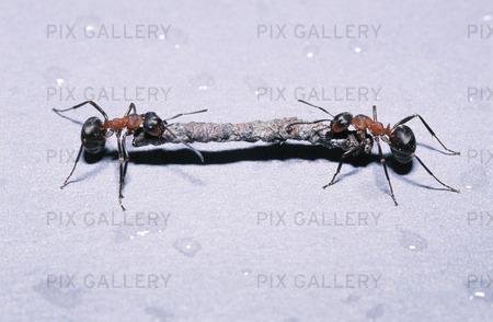 Myror som hjälper varandra