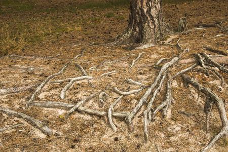 Rötter från träd