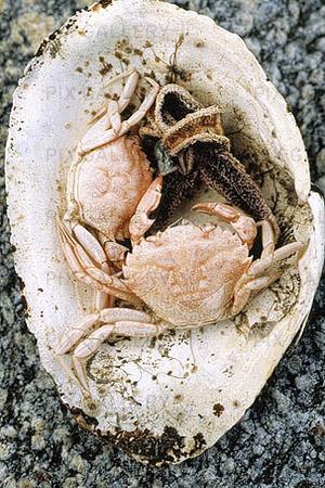 Döda krabbor i musselskal