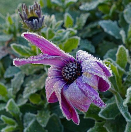 Frostig blomma, Stjärnöga