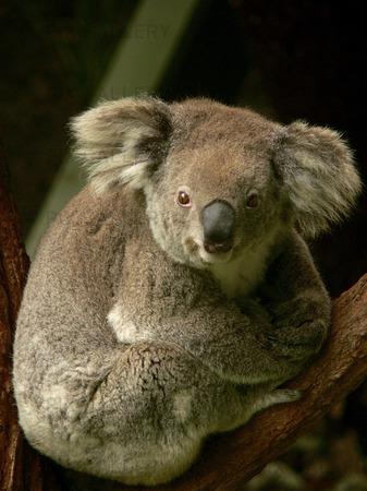 Koala (Phascolarctos cinereus) Sydney. Australien