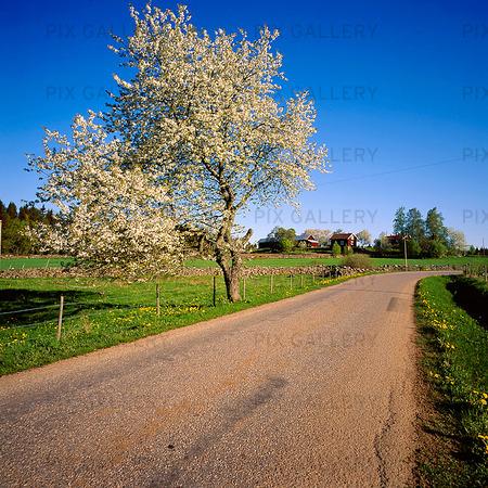 Landsväg vid blommande träd
