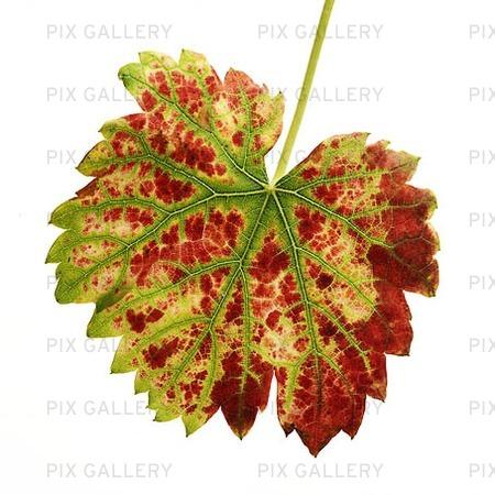 Höstlöv från vindruvsplanta
