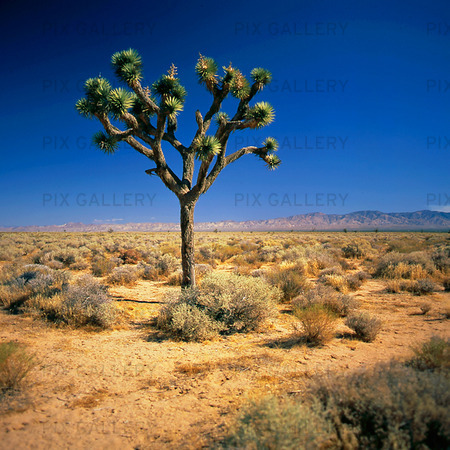 Joshua Tree i öknen Kalifornien, USA