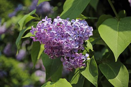 Blå syren, Syringa vulgaris
