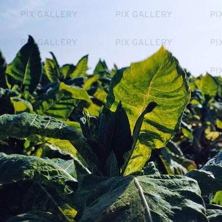 Tobaksodling