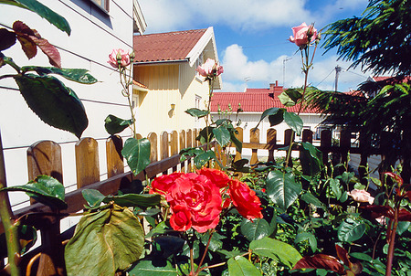Rosor i trädgård