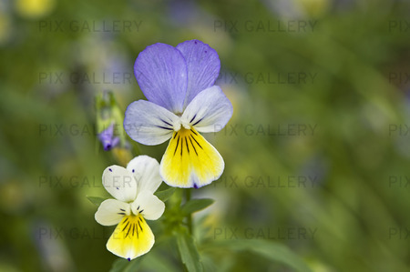 Styvmorsviol, viola tricolor