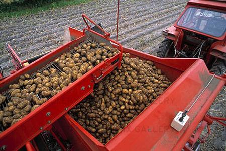 Potatisupptagning