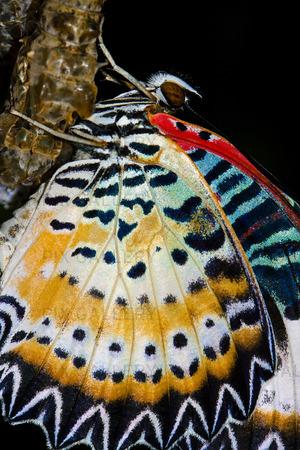 Fjäril kokonger vid nykläckt fjäril