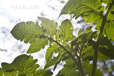 Tomatblad