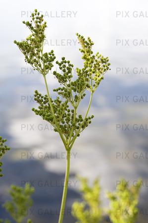 Älggräs