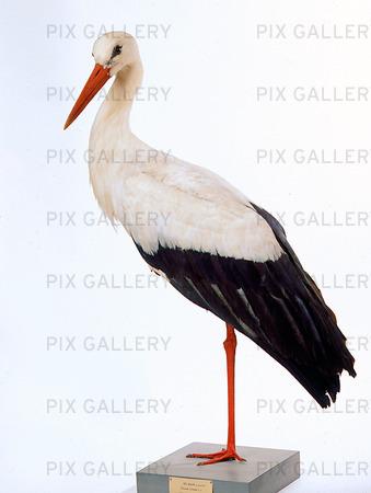 Uppstoppad stork