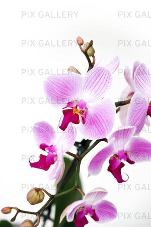 phalaenopsis orkidé