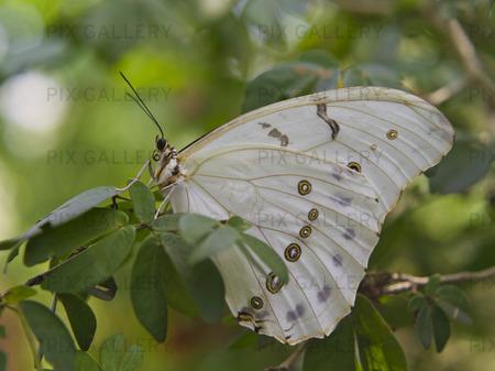 (Morpho Polyfemos) fjäril. Syd-och Centralamerika