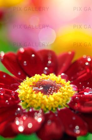 Närbild av röd blomma med waterdrops