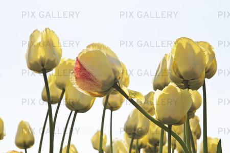 Tulpan Tulipa Fringed elegance