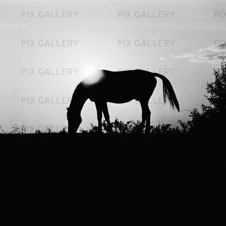Häst i motljus