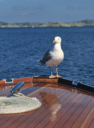 Mås på fritidsbåt