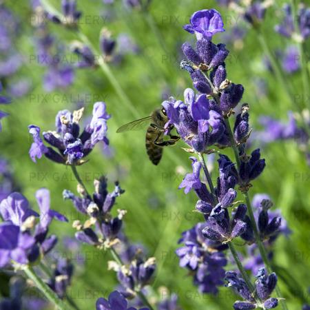 Lavendel och honungsbi