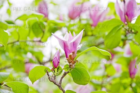 Magnolia träd