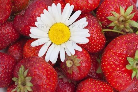 Prästkrage på jordgubbar