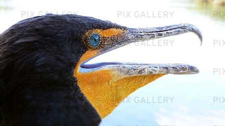 Cormorant (Phalacrocorax auritius)